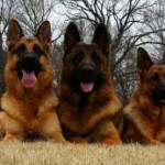 Tres pastores alemanes