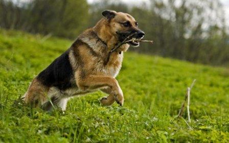 pastor aleman corriendo