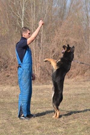 entrenamiento pastor aleman