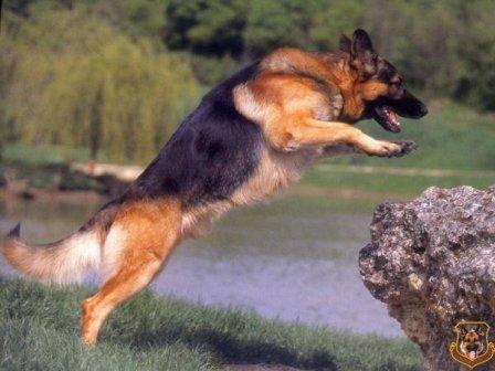 pastor aleman saltando